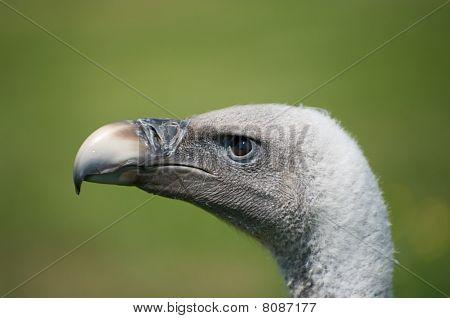 Vultures head