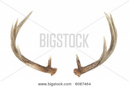 Rear View Of Whitetail Deer Antlers