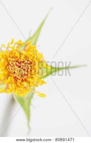 Golden Yellow Rose Stamen