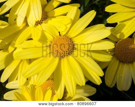 Close Up Of Arnica Flower