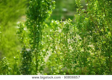 Populus Tree Treetop. Nature spring summer background