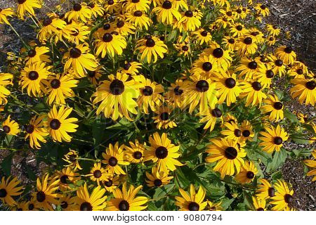 Lots of Black Eye Susan Flowers