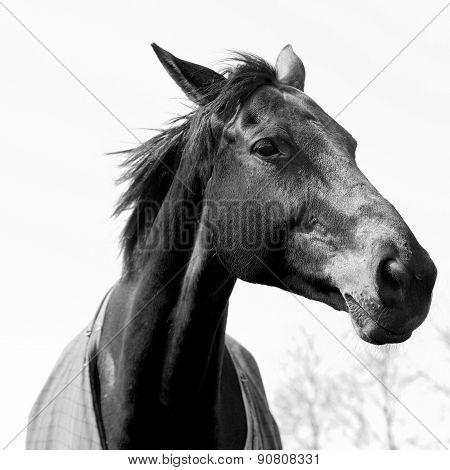 Black White Elegant Horse Head