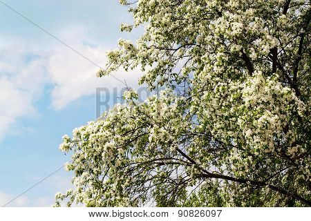 Blooming Apple Trees And Blue Sky