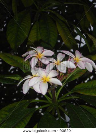 Plumeria Tree