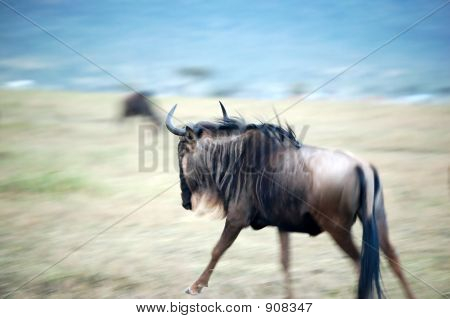 Galopping Wildebeest