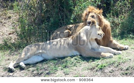 Caressing Lion And Lioness