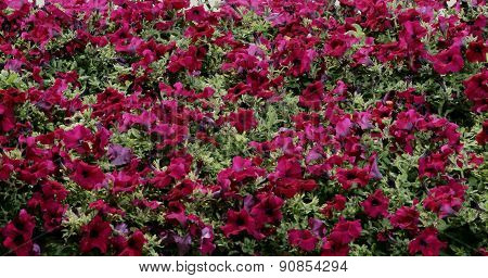 Background of blooming petunia surfinia