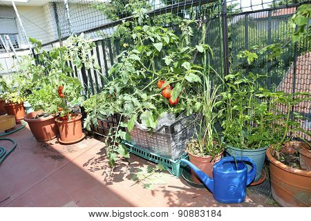 Ret Tomato Plant In The Urban Vegetable Garden In The City