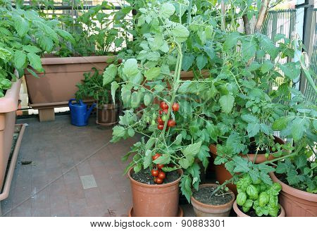 Tomato Plant In The Pot On The Terrace Of A House In The City