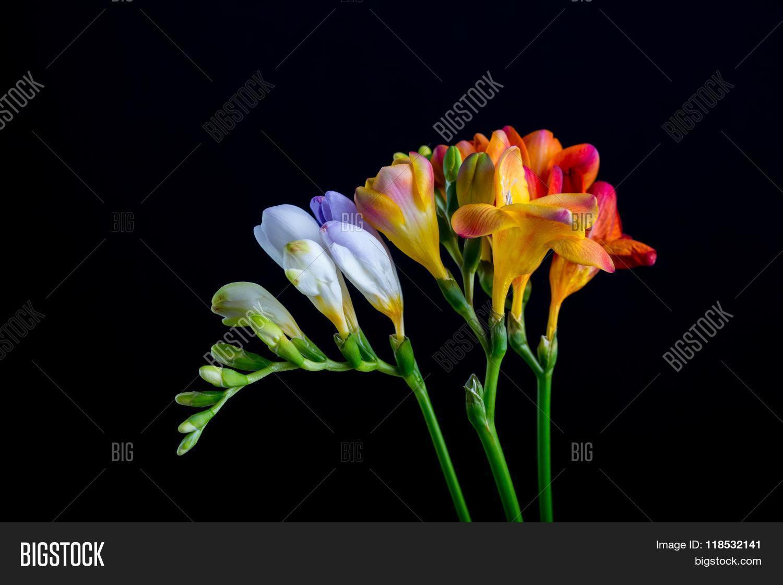 Beautiful freesia image photo free trial bigstock beautiful freesia flowers bouquet isolated on black izmirmasajfo