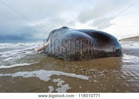 Stranded Sperm Whale lies dead on te beach