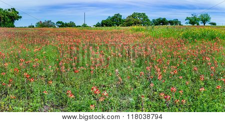 Panorama Of Orange Indian Paintbrush Wildflowers In A Texas Field