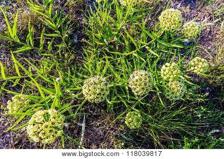 Antelope Horns (Asclepias asperula) or Green-Flowered Milkweed Wildflower in Texas poster