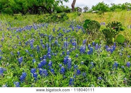 Prickly Pear Cactus in a Field Full of the Famous Texas Bluebonnet (Lupinus texensis) Wildflowers. An Amazing Display at Muleshoe Bend in Texas. poster