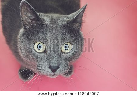 grey cat sitting on pink background