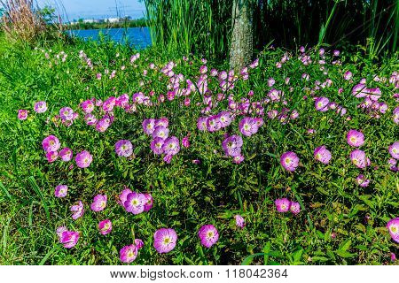 Texas Pink Evening Or Showy Evening Primrose Wildflowers. (oenothera Speciosa)