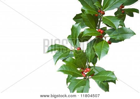 Holly Branch (ilex Aquifolium) With Leaves And Berries Isolated On White For Christmas