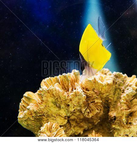 Beautiful pomacentridae saltwater  aquarium fish and coral