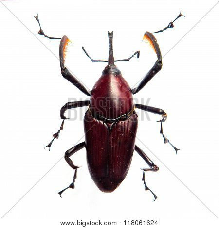 Beetle Dynastes granti isolate for white background