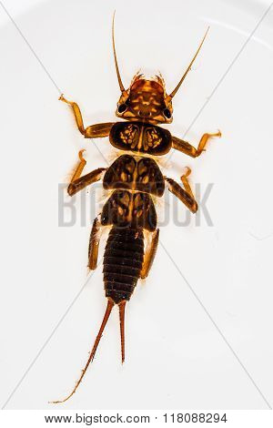 Perlidae Stonefly Nymph