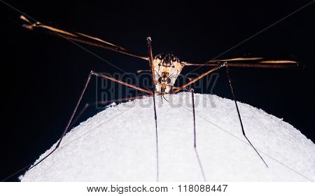 A Large Cranefly