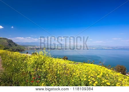 Yelloy flowers near sea of Galilee in sunny spring day. Beautiful Israel nature
