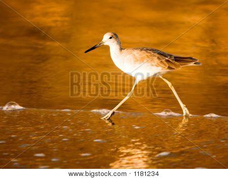 California Shorebird ~ Sandpiper Wades At The Beach During Golde