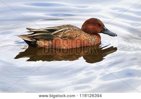 Cinnamon Teal Duck Drake