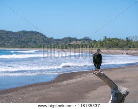 Black Vulture in Samara Beach
