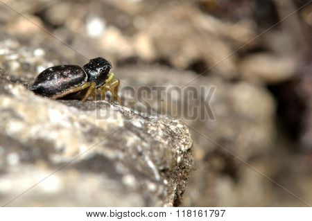 Heliophanus flavipes jumping spider