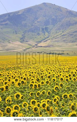 yellow sunflowers and mountains