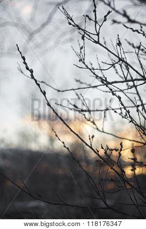 pussy-willow sallow branch close up. sunset lights blue orange dark grey