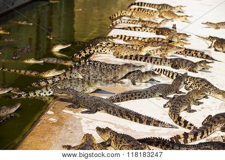 Small crocodiles in crocodile farm in water and cement