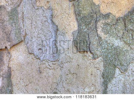 Sycamore bark texture