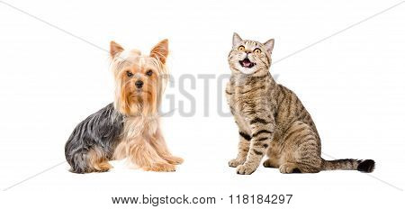 Yorkshire Terrier and meowing cat Scottish Straight
