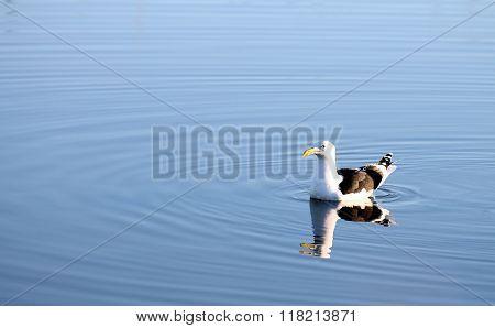 Kelp Gull (larus Dominicanus)