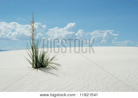Yucca plant on white sand dunes and blue sky