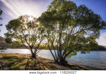 Willow Tree By Lake Wakatipu