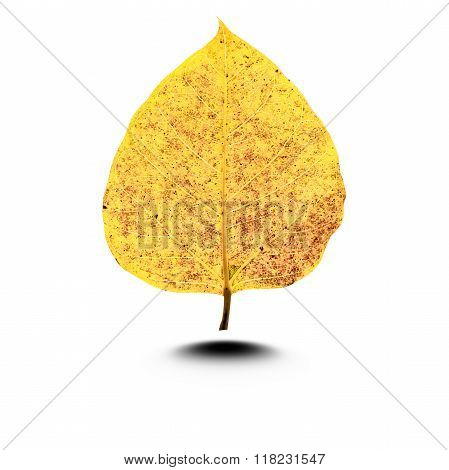 Yellow Leaves Isolated Whiter Background
