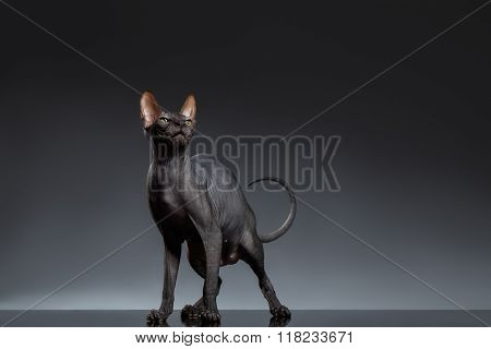 Sphynx Cat Stands And Squints Looking Up On Black