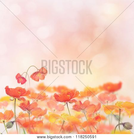 Poppy Flowers Blossom for Background