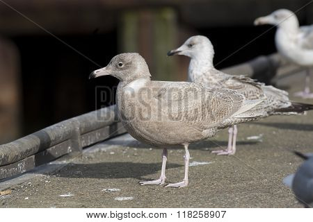 Glaucous Gull and European Herring Gull