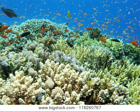 Colorful Coral Reef With Shoal Of Fishes Scalefin Anthias In Tropical Sea, Underwater