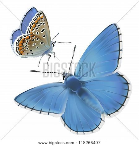 Butterfly Adonis blue.
