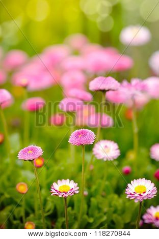 Beautiful Marguerite Flowers, Outdoors