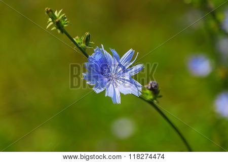 Single Blue Chicory Flower