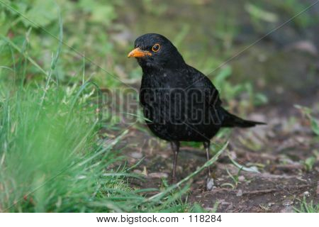 Blackbird Grounded