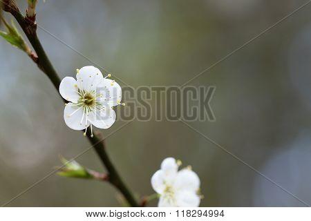 White Chinese Plum Flowers