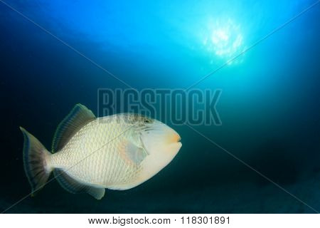 Yellowmargin Triggerfish